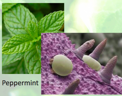 maginified peppermint leaf with essential oil